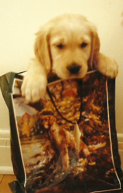 Buck, my Goldie, age 3 months, got in the bag himself on Christmas eve. Notice the picture on the bag! He was killed by a police car on his second birthday, on our way back from buying him his first T-bone steak.