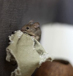 Mice or Mouse in the HVAC Ducts?