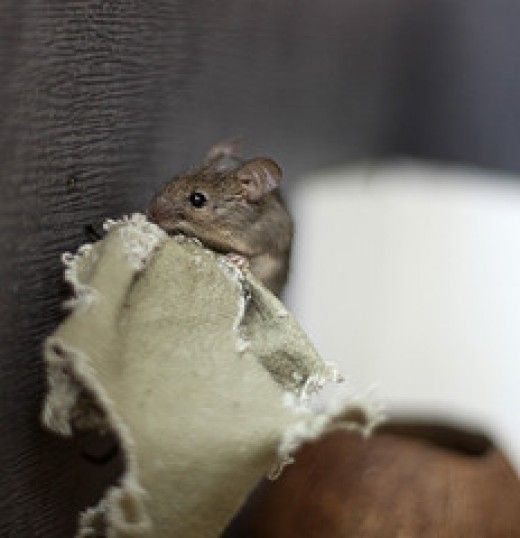 Mice Or Mouse In The Hvac Ducts