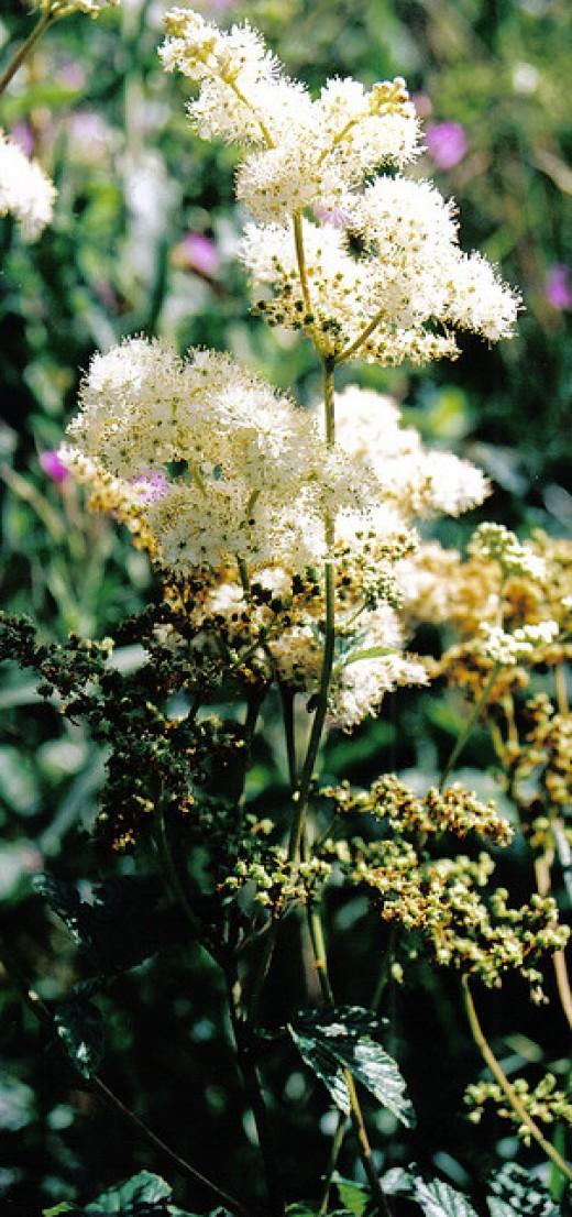 Meadowsweet bloomed