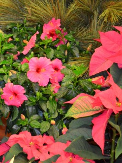 Photo 2 - Hibiscus with Poinsettias at Christmas Time