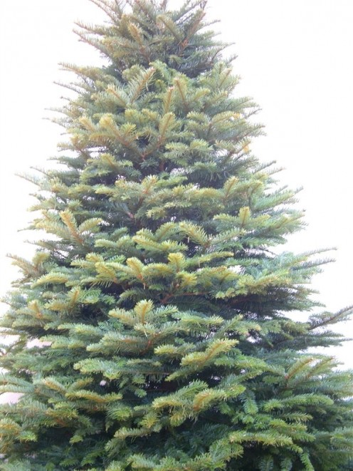 Noble Fir brings the fresh smell of pine into the house.