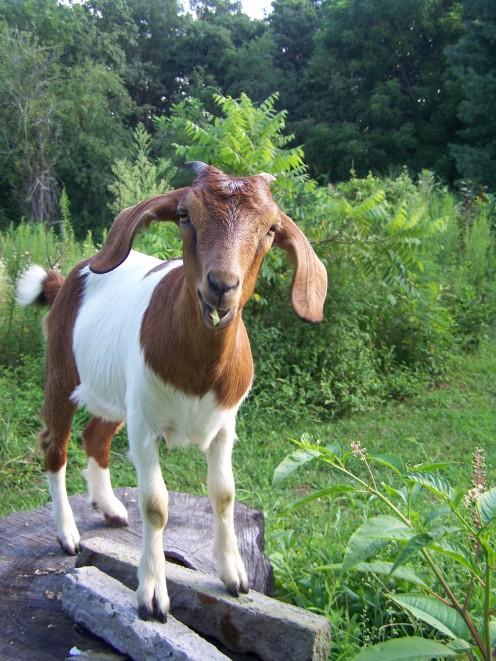 My Young Mini Lamancha x Boer Goat, Bay Belle. She is a future cart goat!