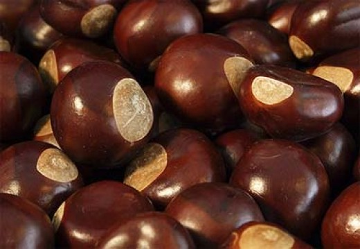Buckeyes from a Buckeye Tree.