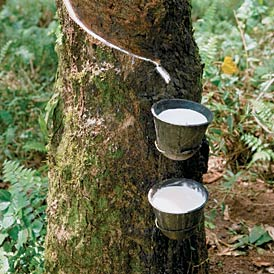 Tapping the latex of rubber tree