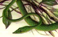 Green Whip Snake (Ahaetulla nasutus)