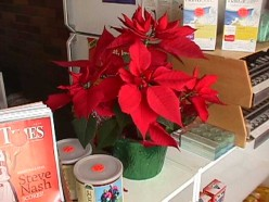 Those Christmas Poinsettias Aren't Just For Xmas