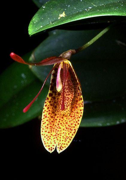The bizarre Restrepia elegans (the elegant Restrepia)