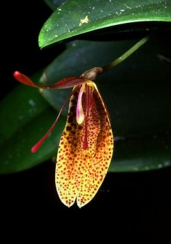Orchids from cloud forests - Restrepia.