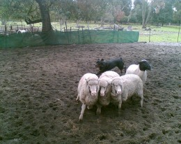 A working Rottweiler herding sheep doesn't look too dangerous, does it?