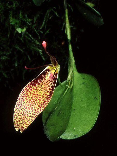 An intermediate Restrepia, R guttulata.