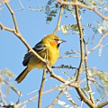 To kill the golden oriole - short stories online