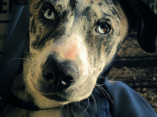 Catahoula eye color
