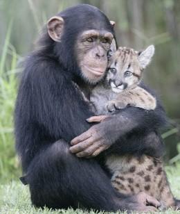 Chimp nursing puma cub.