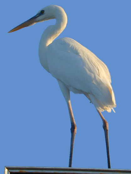 Great White Heron, a mutation of the Great Blue Heron.