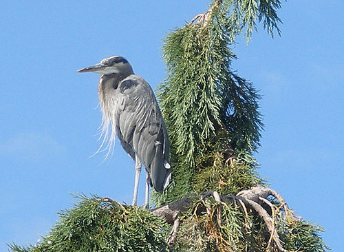 Great Blue Heron standing in a tree in the Pacific Northwest.