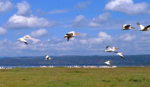 Pelicans, Lake Nakuru National Reserve, Kenya