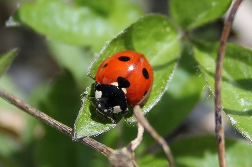 An adult ladybird.