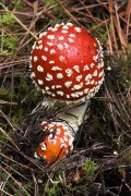 Father Christmas and the Fly Agaric magic mushroom of fairy tales