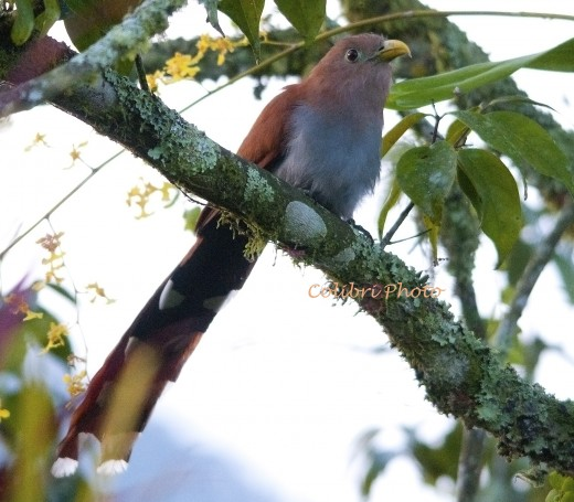 Squirrel Cuckoo (Piaya cayana)
