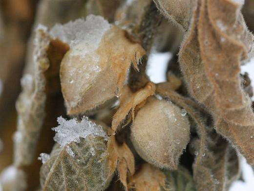 Indian Ginseng (Withania somnifera)