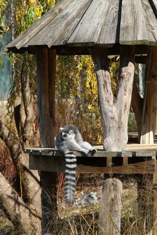 Lemur Exhibit at Smithsonian National Zoo - Washington, D.C.