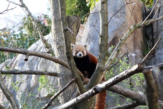 Red panda at Smithsonian National Zoo - Washington, D.C.