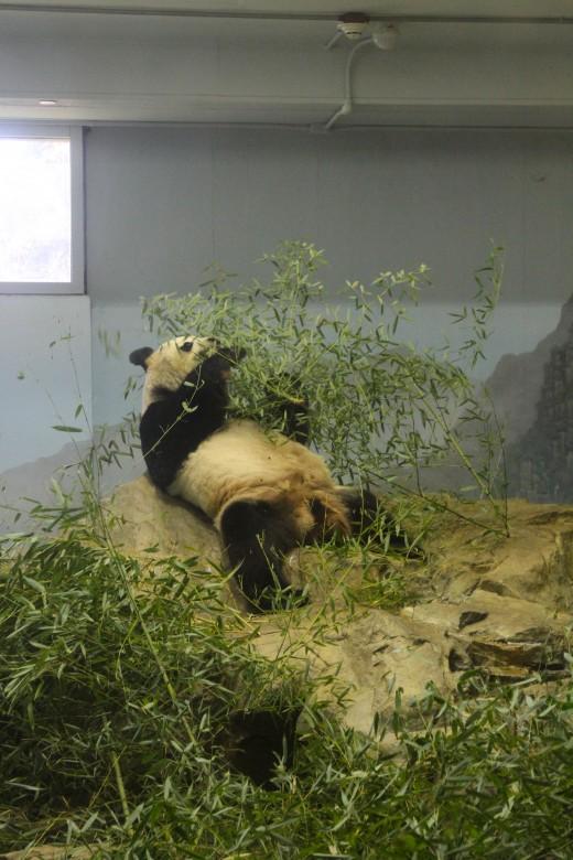 Giant panda at Smithsonian National Zoo - Washington, D.C.