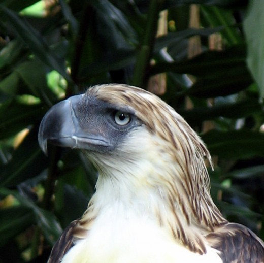 the Monkey-Eating eagle at the Philippine Eagle Center
