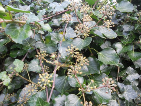 Ivy (Hedera helix) in flower with berries forming
