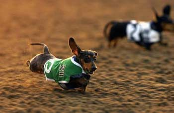 Many Sight Hounds are raced for profit, but Wiener racing is, Thank God, still more of a sport/fun event than for profit!