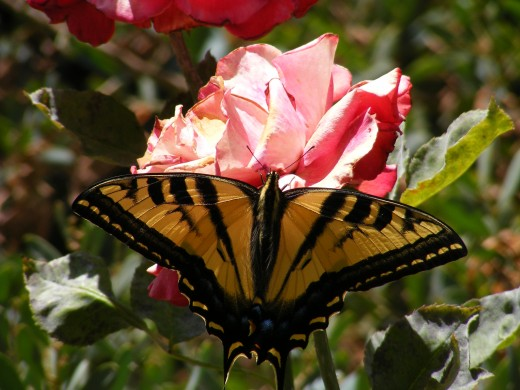 A beautiful butterfly connecting to nature. Photo taken at the Common Ground in Corona, CA.