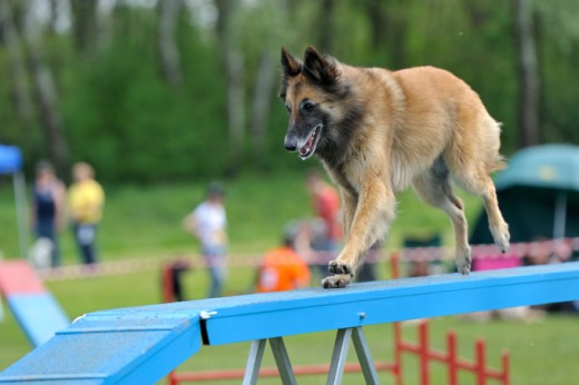 To keep a dog as energetic and agile as a Belgian Shepherd focused and controlled... WOW!
