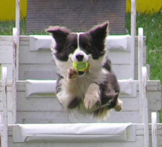 Working dog breeds like this multi-talented Border Collie just don't do well on couches!