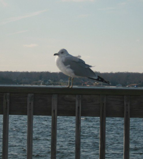 Seagulls live year round near the waters of Southern Maryland.