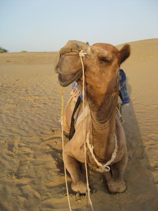 My grinning camel