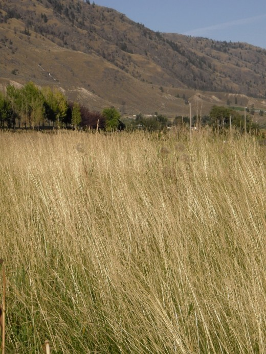 Grasses on the Benchlands east of Kamloops