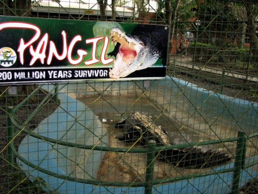 Pangil 'was' the largest croc in captivity before Lolong came along. Pangil is actually a fat crocodile, and he seemed happy at the crocodile farm in Davao