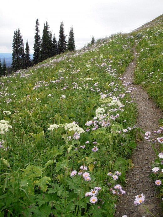 Walk in Wildflowers: asters and sometimes wild strawberries