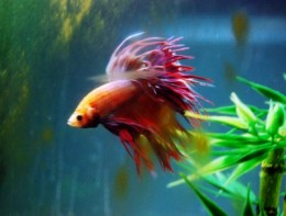 A Betta Fish or Siamese Fighting Fish