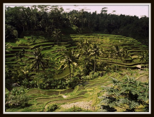 View of Tegalalang Rice Terrace from upside.