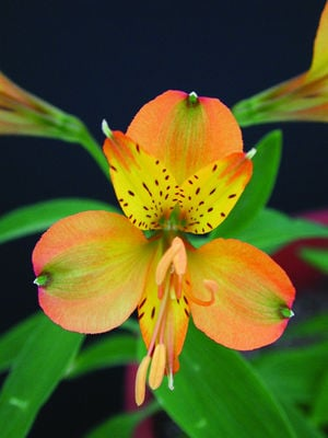 Peruvian Lily of St. Martin's featured in Brent and Becky's Bulbs catalog.