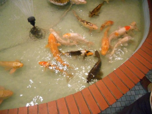Calgary, Alberta. August 2011. (C) Sarah Haworth. Koi Fish.