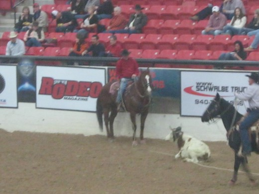 Two riders and a steer