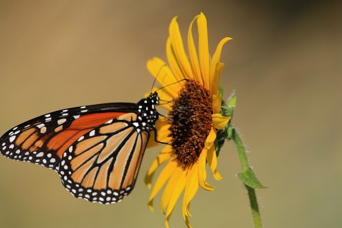 Butterflies and  sunflowers just seem to be a part of summer.