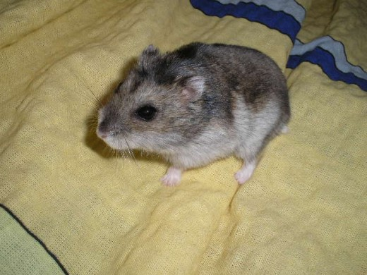 Dwarf Winter White Russian Hamster on a bed