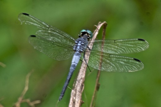 This dragonfly photo was taken along the eastern slope of Volcano Miravalles in a swampy area near a thermal vent.