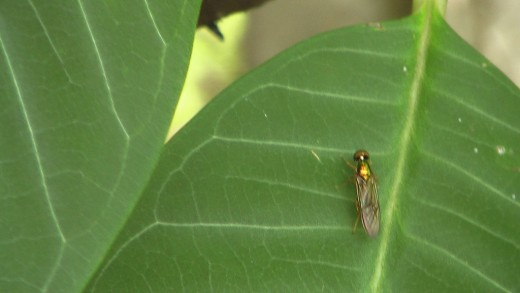 A golden fly on a leaf.