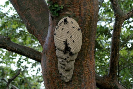 These wasps are common in Costa Rica.  They can apparently be aggressive if disturbed.  (Trompa de chancho avespas) Nest on an Indio Desnudo (Naked Indian) tree.