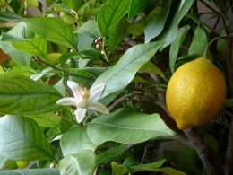 Don't miss the health benefits of lemons.